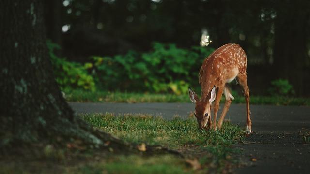 草を食べる鹿