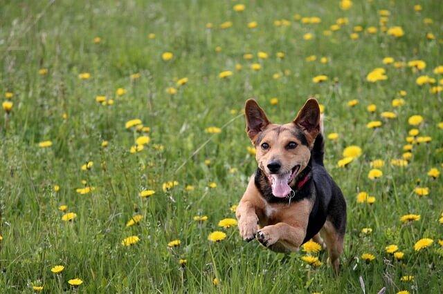 草原を駆ける犬