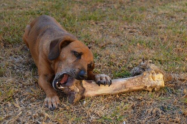 大きな骨を食べる犬