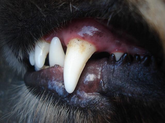 歯石がついた犬
