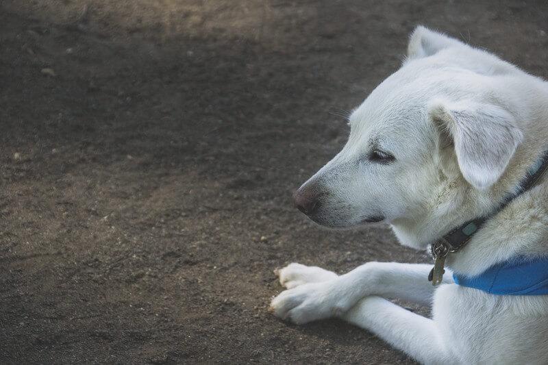 遠い目の犬
