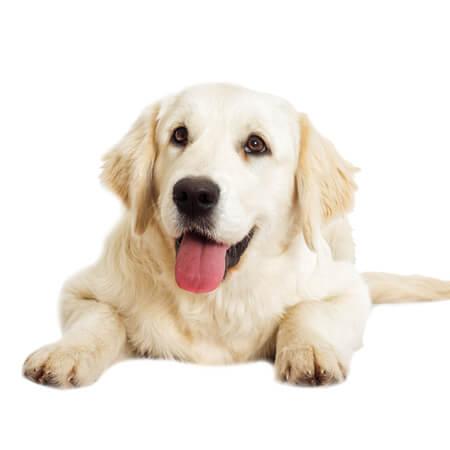 舌を出した犬