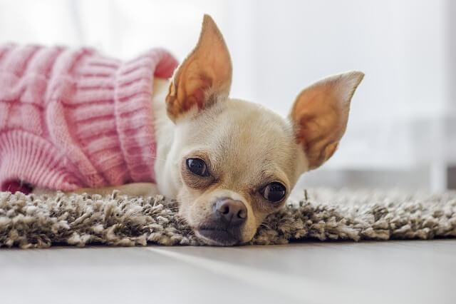 不機嫌な表情をする犬