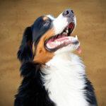 白い歯の犬