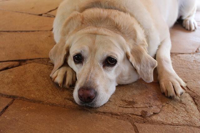 太ってしまった犬