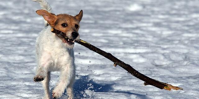 棒を加えて遊ぶ犬